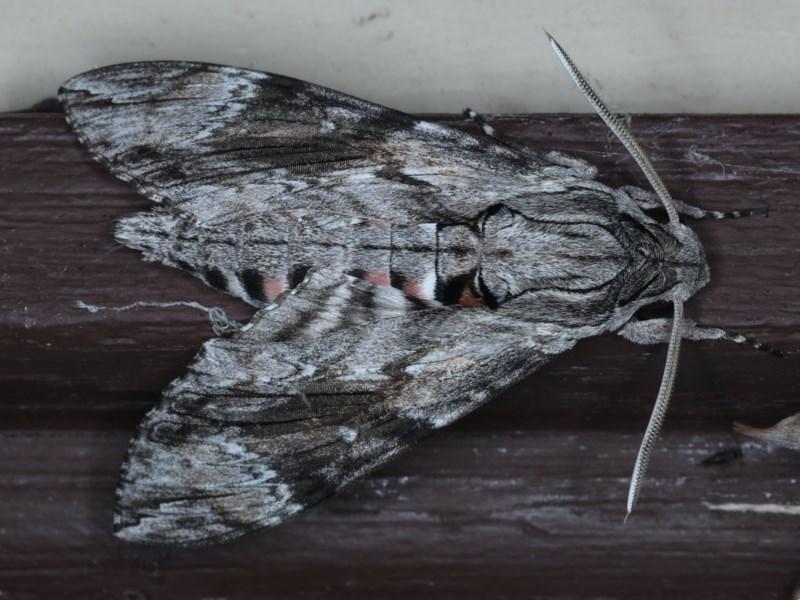 Agrius convolvuli at Lilli Pilli, NSW - 7 Oct 2020