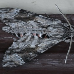 Agrius convolvuli (Convolvulus Hawk Moth) at Lilli Pilli, NSW - 7 Oct 2020 by jbromilow50