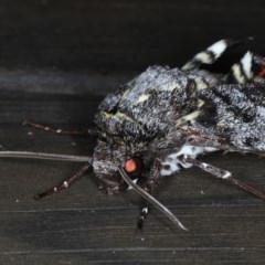 Tetrachroa edwardsi at Lilli Pilli, NSW - 7 Oct 2020