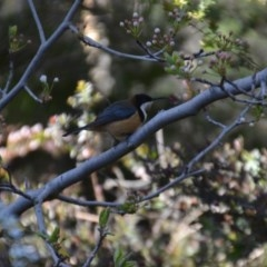 Acanthorhynchus tenuirostris (Eastern Spinebill) at Wamboin, NSW - 4 Sep 2020 by natureguy