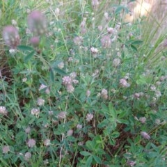 Trifolium arvense var. arvense (Haresfoot Clover) at Isaacs Ridge and Nearby - 8 Oct 2020 by Mike