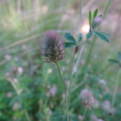 Trifolium arvense var. arvense at Isaacs Ridge and Nearby - 8 Oct 2020