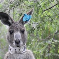 Macropus giganteus (Eastern Grey Kangaroo) at ANBG - 7 Oct 2020 by HelenCross