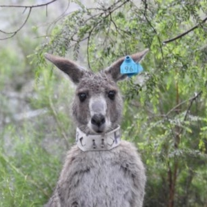 Macropus giganteus at ANBG - 7 Oct 2020