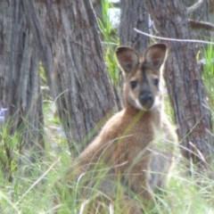 Macropus rufogriseus (Red-necked Wallaby) at Kangiara, NSW - 5 Oct 2020 by JackieLambert