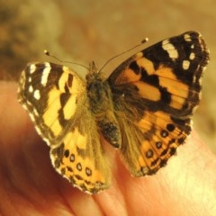Vanessa kershawi (Australian Painted Lady) at Conder, ACT - 30 May 2020 by michaelb