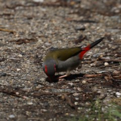 Neochmia temporalis (Red-browed Finch) at Rosedale, NSW - 8 Oct 2020 by jbromilow50