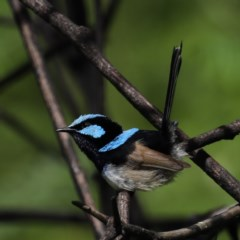 Malurus cyaneus (Superb Fairy-wren) at Rosedale, NSW - 8 Oct 2020 by jbromilow50