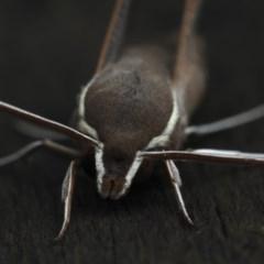 Hippotion scrofa (Coprosma Hawk Moth) at Lilli Pilli, NSW - 7 Oct 2020 by jbromilow50