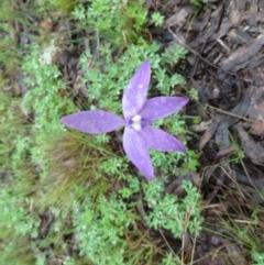 Glossodia major (Wax lip orchid) at Kambah Pool - 7 Oct 2020 by SandraH