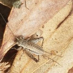 Eurepa marginipennis (TBC) at Mount Painter - 9 Oct 2020 by tpreston