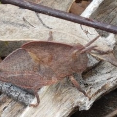 Goniaea australasiae (Gumleaf grasshopper) at Mount Painter - 9 Oct 2020 by tpreston