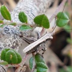 Tettigoniidae sp. (family) (TBC) at Mount Painter - 9 Oct 2020 by tpreston