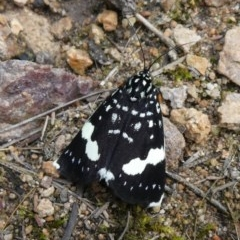 Idalima affinis (A day flying moth) at Tuggeranong Hill - 9 Oct 2020 by Owen