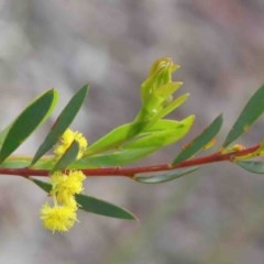 Acacia buxifolia subsp. buxifolia (Box-leaf Wattle) at O'Connor, ACT - 8 Oct 2020 by ConBoekel