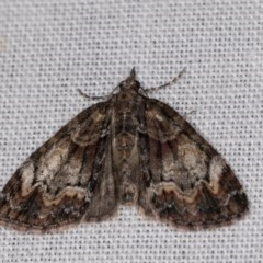 Microdes undescribed species (genus) (A Geometer moth) at Tidbinbilla Nature Reserve - 9 May 2018 by kasiaaus