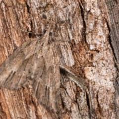 Microdes undescribed species (genus) (A Geometer moth) at Tidbinbilla Nature Reserve - 11 Nov 2018 by kasiaaus