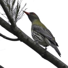 Oriolus sagittatus (Olive-backed Oriole) at Jerrabomberra Wetlands - 9 Oct 2020 by RodDeb