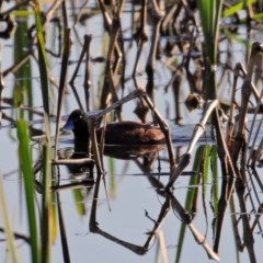 Oxyura australis (Blue-billed Duck) at Jerrabomberra Wetlands - 9 Oct 2020 by RodDeb
