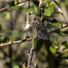 Hemicordulia tau (TBC) at Wingecarribee Local Government Area - 28 Sep 2020 by Aussiegall
