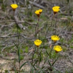 Podolepis jaceoides (Showy copper-wire daisy) at Wingecarribee Local Government Area - 6 Oct 2020 by Aussiegall