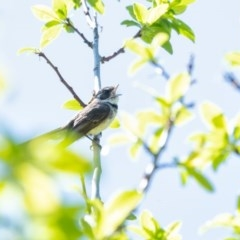 Rhipidura albiscapa (Grey Fantail) at Penrose - 2 Oct 2020 by Aussiegall