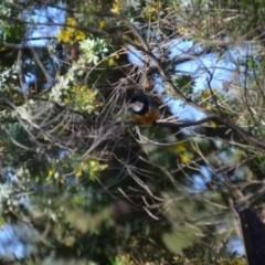 Pachycephala rufiventris (Rufous Whistler) at Wamboin, NSW - 4 Sep 2020 by natureguy