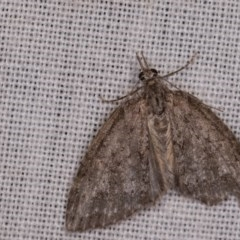 Microdes squamulata (Dark-grey Carpet) at Tidbinbilla Nature Reserve - 18 May 2018 by kasiaaus