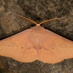 Monoctenia falernaria (Patched Leaf Moth) at Bimberi Nature Reserve - 7 Feb 2019 by kasiaaus
