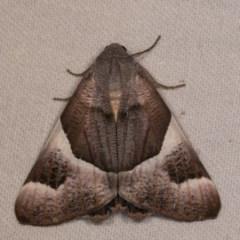 Niceteria macrocosma (Showy Geometrid) at Bimberi Nature Reserve - 7 Feb 2019 by kasiaaus