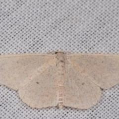 Scopula (genus) (A wave moth) at Tidbinbilla Nature Reserve - 9 May 2018 by kasiaaus