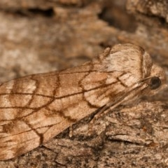 Stibaroma undescribed species (A Line-moth) at Melba, ACT - 14 Apr 2012 by kasiaaus