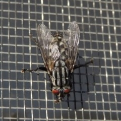 Sarcophagidae sp. (family) (Unidentified flesh fly) at Conder, ACT - 5 Jun 2020 by michaelb