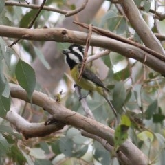 Falcunculus frontatus (Crested Shrike-Tit) at Wodonga - 9 Oct 2020 by Kyliegw