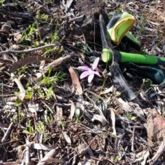 Glossodia major (Wax lip orchid) at Mount Ainslie - 9 Oct 2020 by SilkeSma