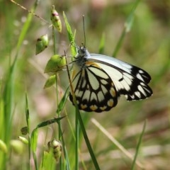 Belenois java (Caper White) at Wodonga - 10 Oct 2020 by Kyliegw