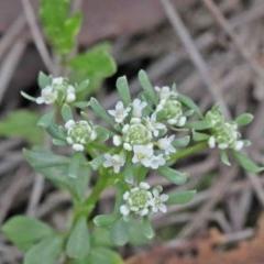 Poranthera microphylla (Poranthera) at Acton, ACT - 9 Oct 2020 by ConBoekel