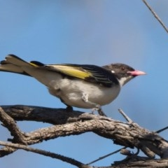 Grantiella picta (Painted Honeyeater) at Mount Ainslie - 9 Oct 2020 by patrickcox