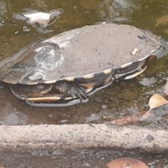 Chelodina (Chelodina) longicollis (Eastern long-necked turtle) at FS Private Property - 9 Oct 2020 by Stewart