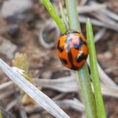 Coccinella transversalis (Transverse Ladybird) at Umbagong District Park - 10 Oct 2020 by tpreston
