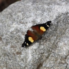 Vanessa itea (Yellow Admiral) at Springdale Heights, NSW - 9 Oct 2020 by PaulF