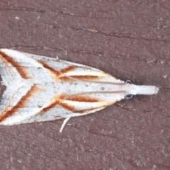 Arotrophora arcuatalis (Banksia Boring Moth) at Lilli Pilli, NSW - 7 Oct 2020 by jbromilow50