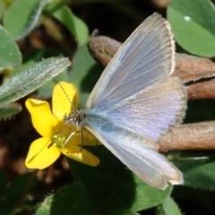 Zizina otis (Common Grass-blue) at Kuringa Woodlands - 8 Oct 2020 by Laserchemisty