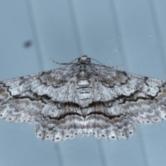 Cleora displicata (A Cleora Bark Moth) at Lilli Pilli, NSW - 7 Oct 2020 by jbromilow50