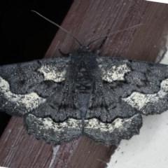 Melanodes anthracitaria (Black Geometrid) at Lilli Pilli, NSW - 7 Oct 2020 by jbromilow50