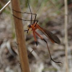 Harpobittacus australis (Hangingfly) at Kuringa Woodlands - 10 Oct 2020 by Laserchemisty