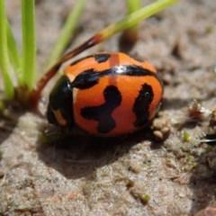 Coccinella transversalis (Transverse Ladybird) at Kuringa Woodlands - 10 Oct 2020 by Laserchemisty