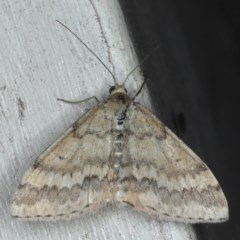 Scopula rubraria (Reddish Wave) at Lilli Pilli, NSW - 7 Oct 2020 by jbromilow50