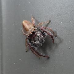 Opisthoncus sp. (genus) at Kambah, ACT - 10 Oct 2020