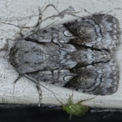Craniophora fasciata (Acronictinae Moth) at Lilli Pilli, NSW - 7 Oct 2020 by jbromilow50